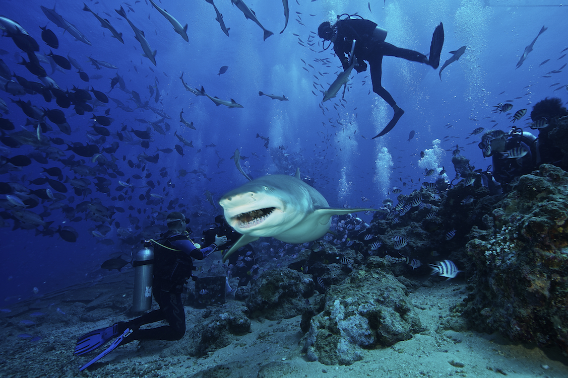 A large Lemon Shark gulps down a large tuna head in front of a crowd of divers.